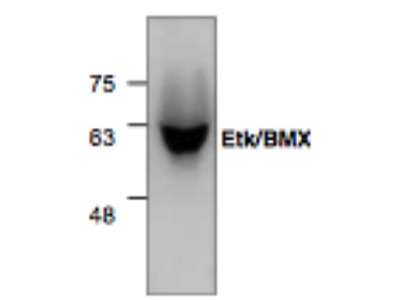 Mouse Anti-APP Antibody