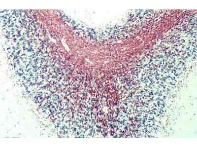 Rat Anti-MBP Antibody