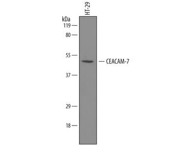 Sheep Anti-CEACAM7 Antibody (Biotin)