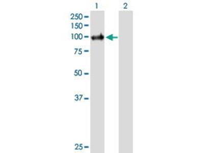 Mouse Anti-PIK3C3 Antibody