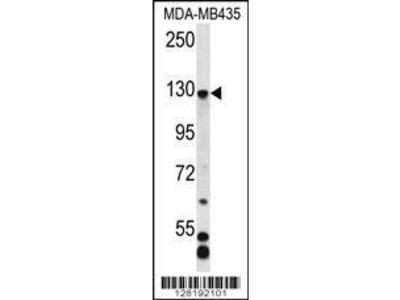 Rabbit Anti-C7orf63, NT Antibody