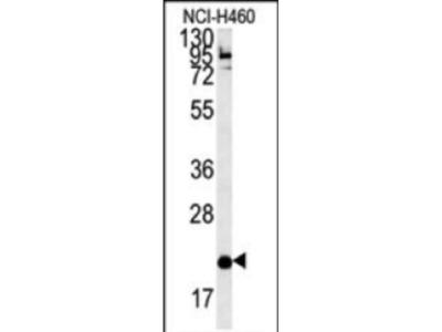 Rabbit Anti-SLAMF7, ID Antibody