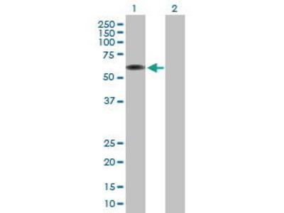 Mouse Anti-ARCN1 Antibody