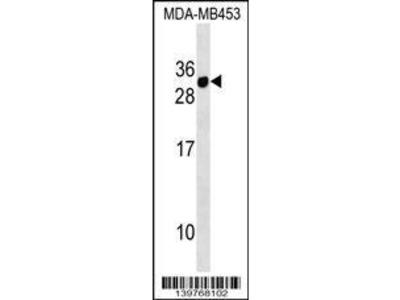 Rabbit Anti-CD300E, ID Antibody