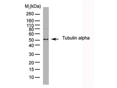 Rat Anti-Tubulin, alpha Antibody (HRP)