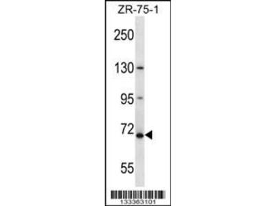 Rabbit Anti-ZNF135, NT Antibody