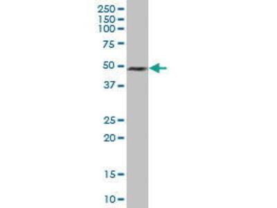 Mouse Anti-ELAVL3 Antibody