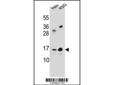 Rabbit Anti-YE016, ID Antibody