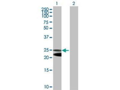 Mouse Anti-NFAM1 Antibody