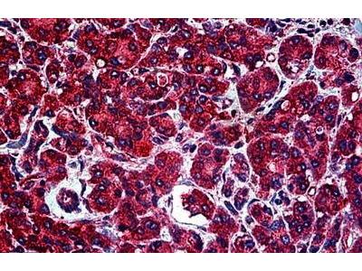 Rabbit Anti-Tubulin, alpha Antibody