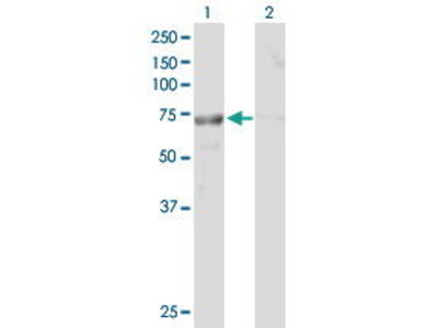 Mouse Anti-TTC30B Antibody