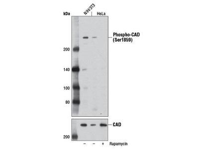 Rabbit Anti-CAD, phosphorylated Antibody