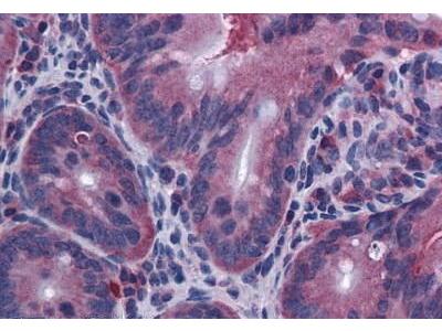 Rat Anti-Interleukin 10 Antibody