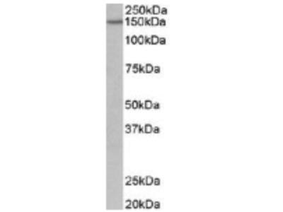 Goat Anti-PCDH17 Antibody