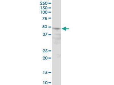 Mouse Anti-POLR3D Antibody