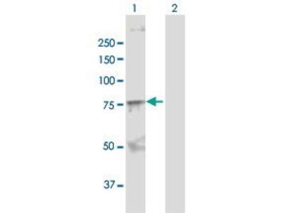 Rabbit Anti-SOX9 Antibody