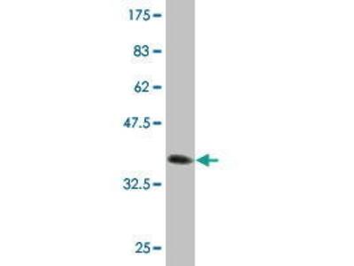 Mouse Anti-TRMT112 Antibody