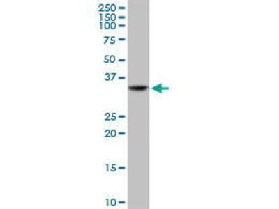 Mouse Anti-TNFRSF14 Antibody