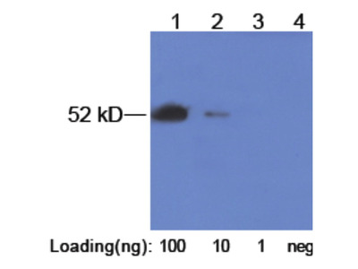Pab Rb x E2-Tag antibody