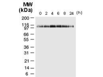 Rabbit Anti-NALP2 Antibody