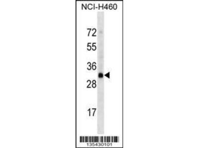 Rabbit Anti-OR4D2, CT Antibody