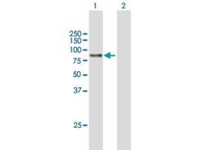 Mouse Anti-GPCPD1 Antibody
