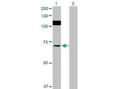 Mouse Anti-SRPK2 Antibody