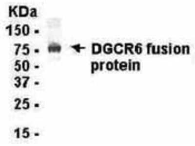 Chicken Anti-DiGeorge Syndrome Critical Region Protein 6 Antibody