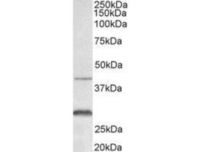 Goat Anti-Cxcr2 Antibody
