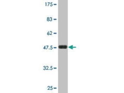 Mouse Anti-Latrophilin 1 Antibody
