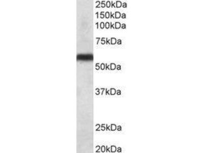Goat Anti-CYP2C8 Antibody
