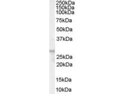 Goat Anti-GPR40 Antibody