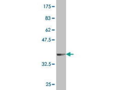 Mouse Anti-PRDM4 Antibody