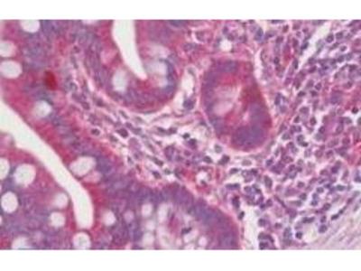 Rabbit Anti-QTRT1 Antibody