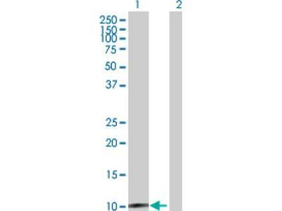 CLPS Antibody