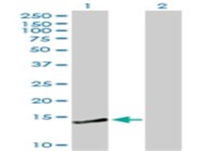 CREBL2 Antibody