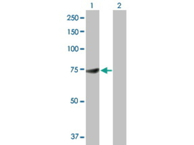 Rabbit Anti-DDX53 Antibody