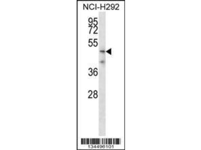 Rabbit Anti-TMPRSS5, NT Antibody