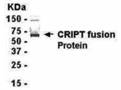 Chicken Anti-Postsynaptic Protein CRIPT Antibody