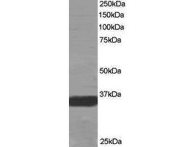 Goat Anti-G-Protein Coupled Receptor, MRGX Antibody