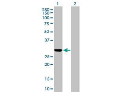Rabbit Anti-DUT Antibody