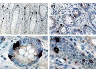 Rabbit Anti-TRAF Interacting Protein TANK Antibody