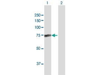 Rabbit Anti-PALM2 Antibody