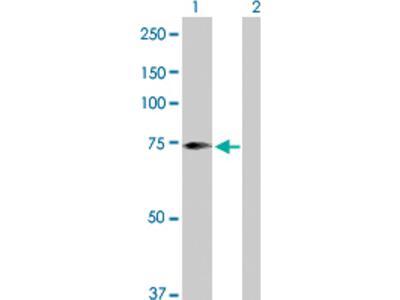 SCFD2 Antibody