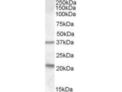 Goat Anti-N33 Antibody