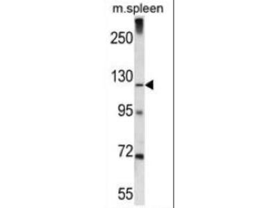 Rabbit Anti-K1324, CT Antibody
