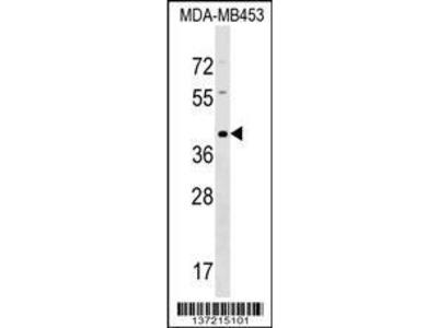 Rabbit Anti-TAS2R9, ID Antibody