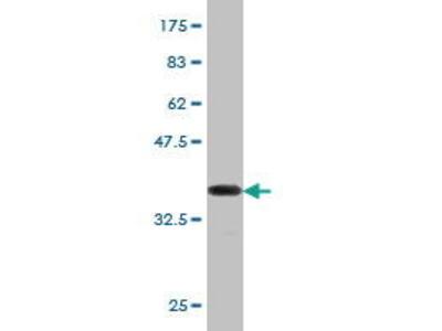 Mouse Anti-NFATC2 Antibody
