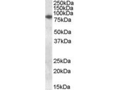 Goat Anti-CYBB Antibody