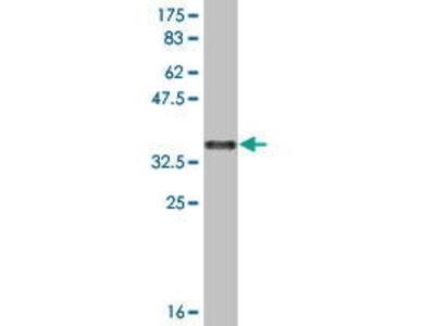 Mouse Anti-Sulfatase 1 Antibody